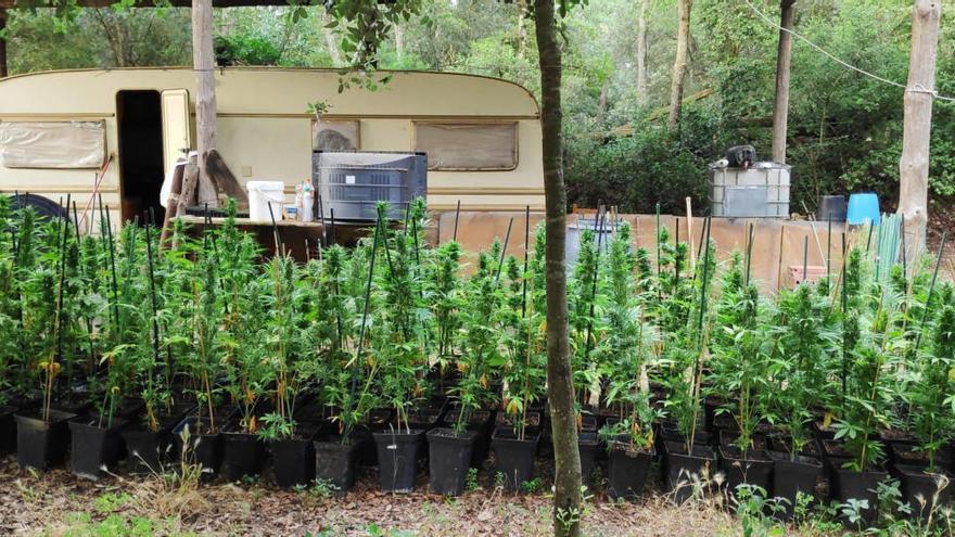 Localitzen més de 15.000 plantes de marihuana en tres plantacions al Gironès