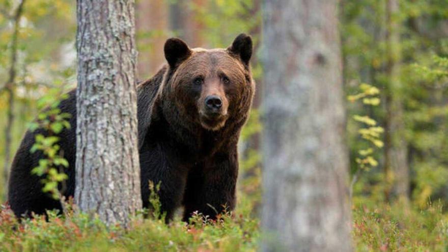 El verdadero valor de un oso en Asturias: trabajo, turismo e impulso a los negocios locales