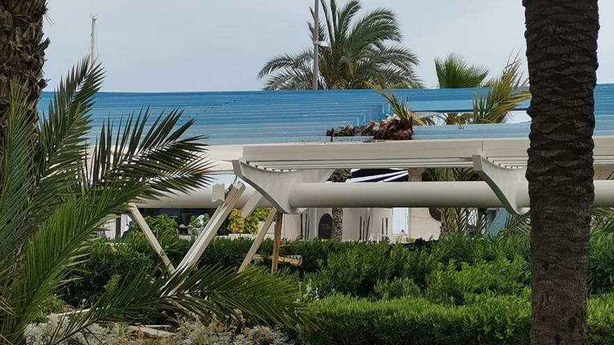 Una palmera se desploma sobre la pérgola del paseo de Vista Alegre en Torrevieja
