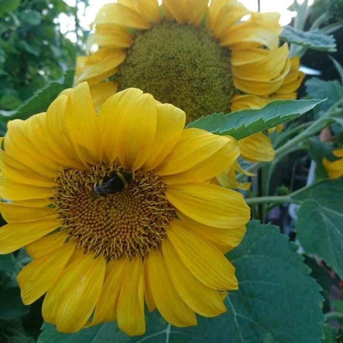 Els gira-sols de l'avi. A l'hort de l'avi de la Paula, el Javier va poder fotografiar aquests gira-sols tan bonics i grans. Fins i tot podem veure com una abella fa la feina que millor coneix, la pol·linització.