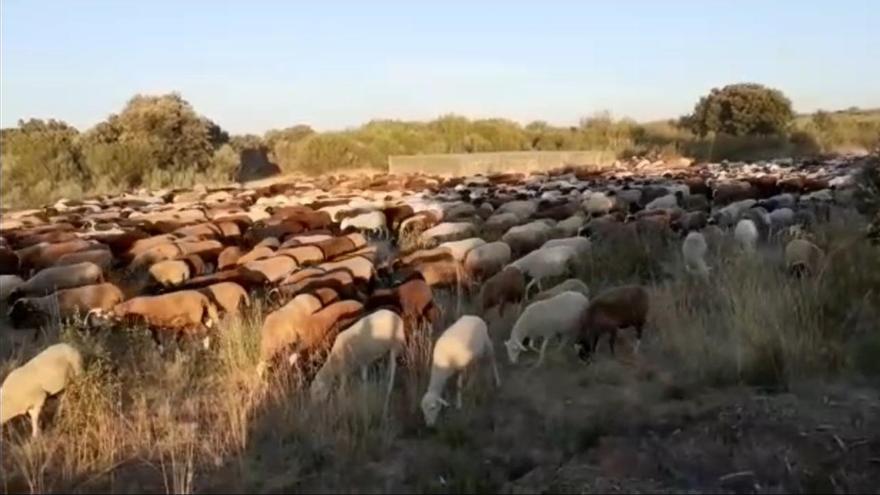 """Miles de ovejas alistanas vuelven a casa tras """"veranear"""" en la Sierra de Sanabria"""