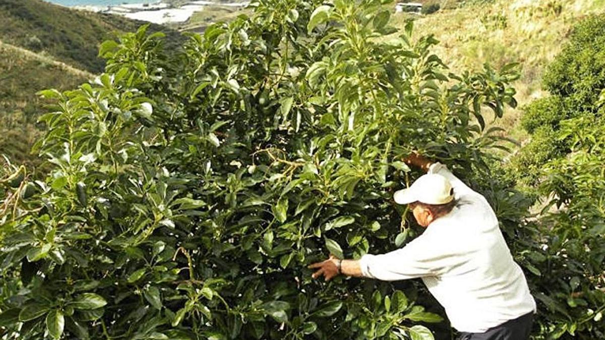 Un  agricultor atiende una plantación de aguacates en la Axarquía