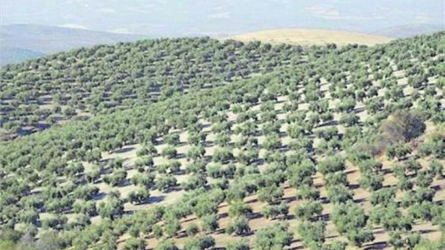 El periodo para asegurar el olivar acaba el día 30 de septiembre