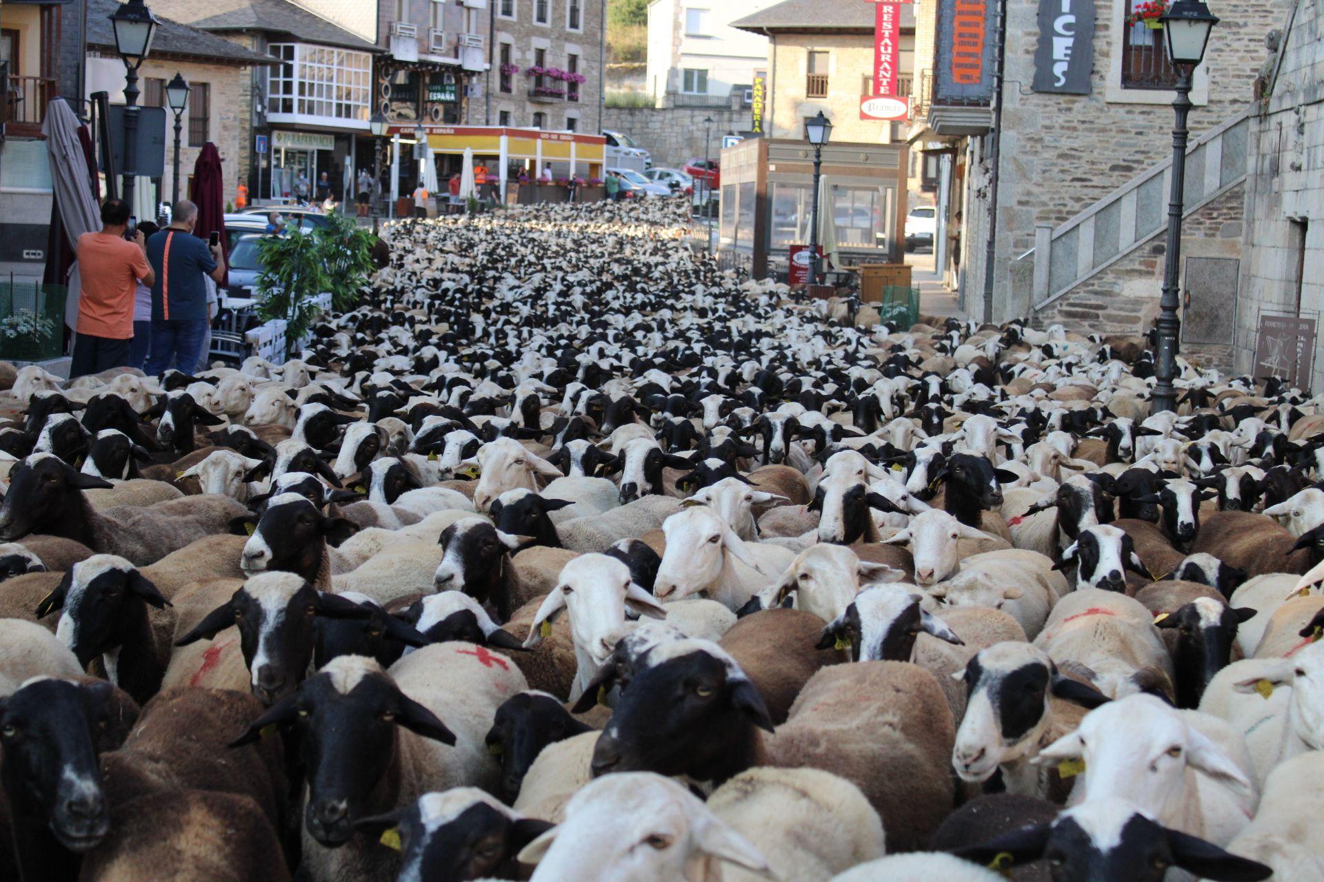 La gente fotografía a las ovejas en una de las principales calles de Puebla.