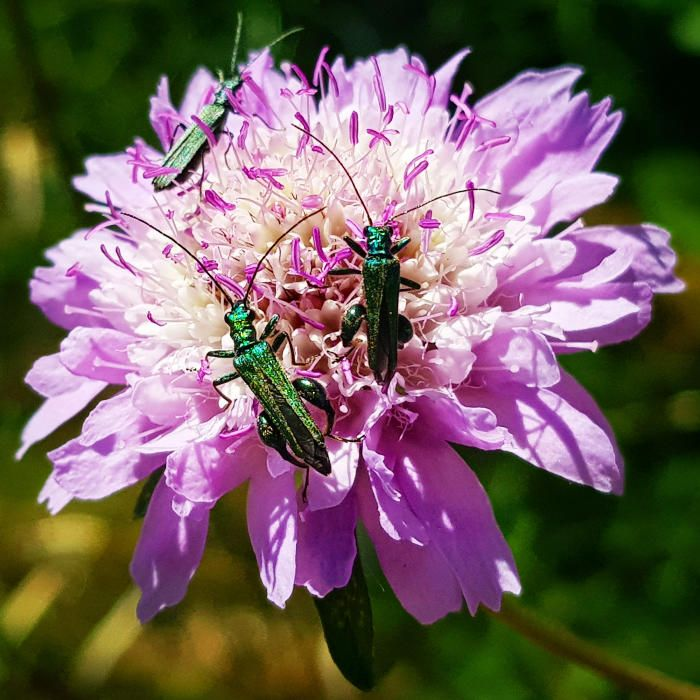Crisantem. Aquestes flors es van introduir al Japó al segle VIII. L'emperador de llavors les va adoptar com a flors del segell imperial. A la imatge podem veure que ni els insectes es resisteixen a la seva bellesa.