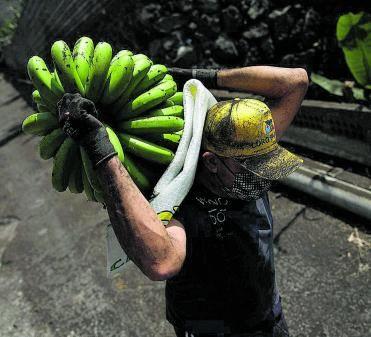 Un agricultor de Tazacorte,  con una piña de plátanos.  | // E. P.