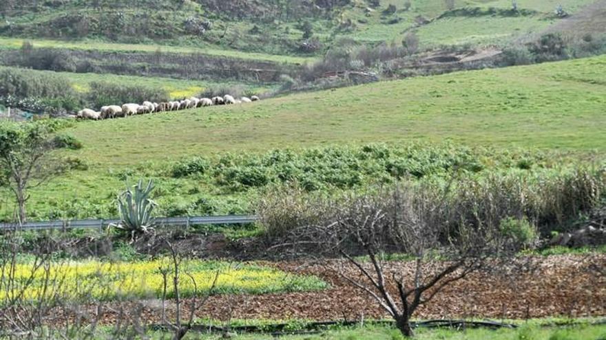 Cuarenta pastores y técnicos europeos comprueban la trashumancia de Gran Canaria