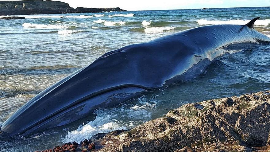 Vara en la playa tapiega de Serantes un rorcual boreal de 13 metros de largo y 15 toneladas