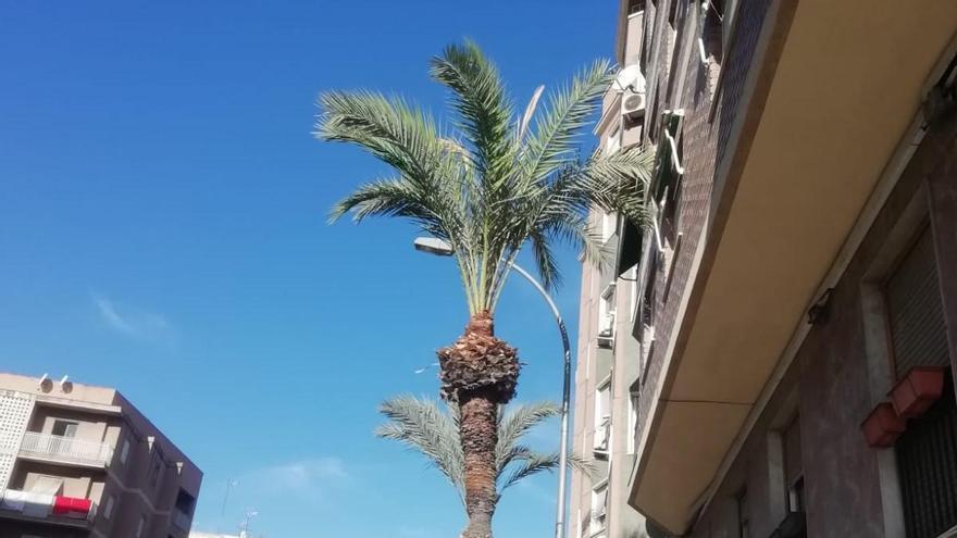 La extraña manera de podar palmeras en Elche