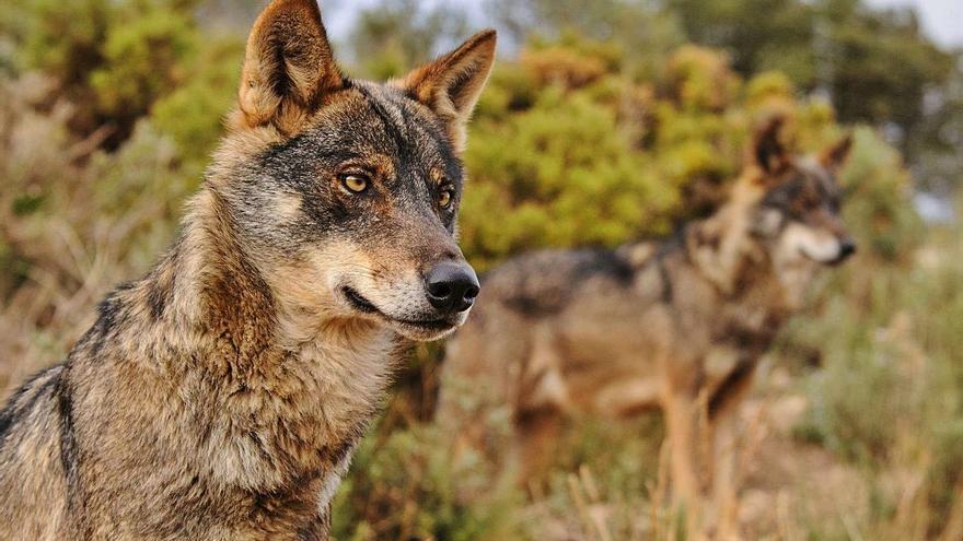 El Gobierno aplaza hasta final de año el veto a la caza del lobo para evitar el vacío legal