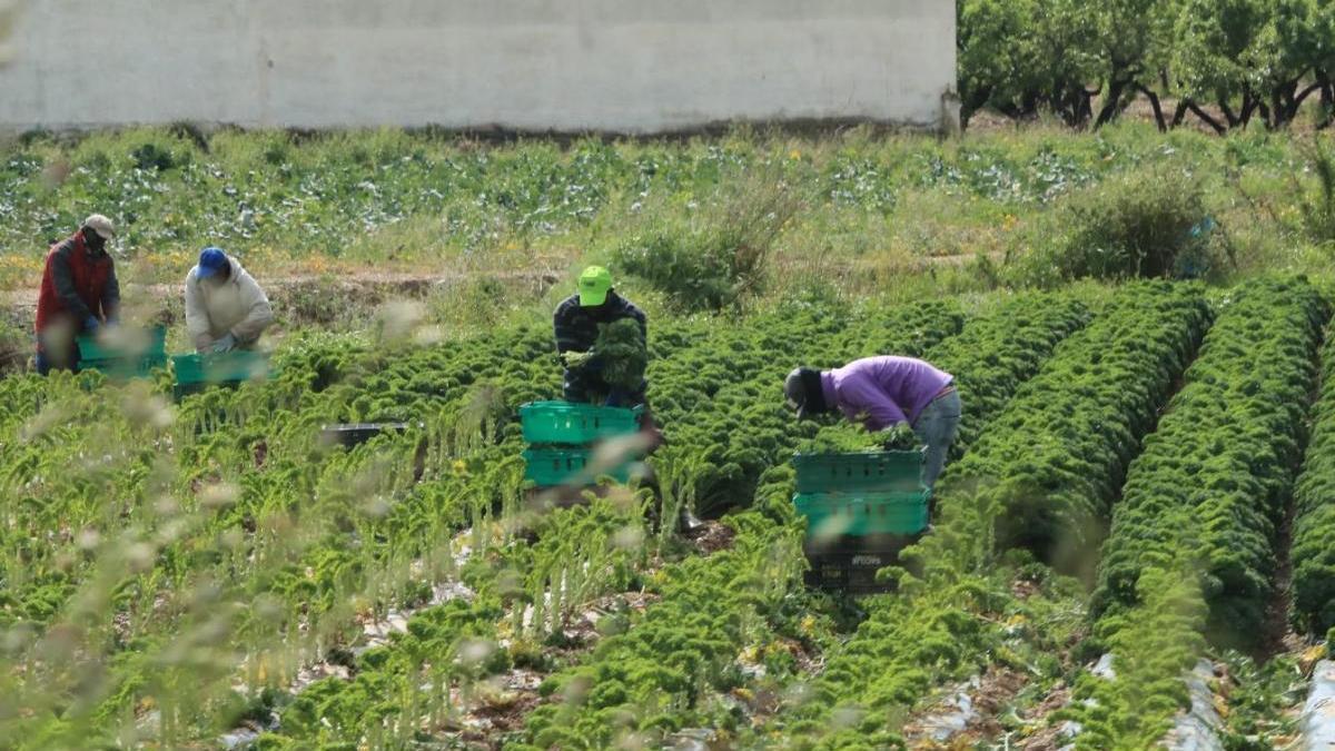 Trabajadores del campo en Totana.