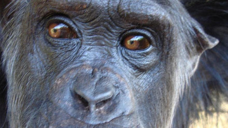 La vida salvaje de un chimpancé enfermo