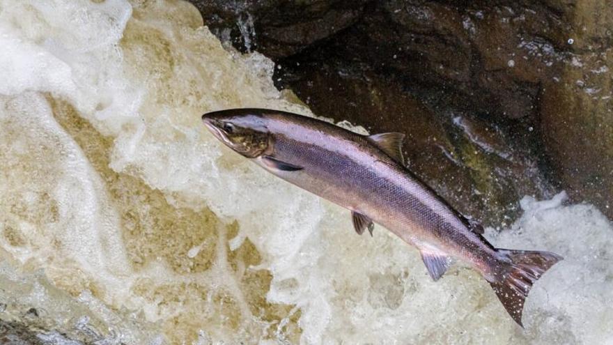 ¿Está extinguiéndose el salmón en Asturias?