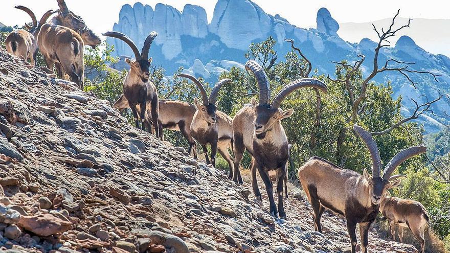 La cabra salvatge s'arrapa a Montserrat