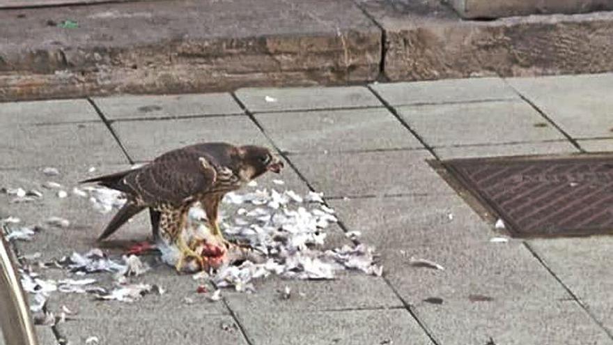 Expectación en la calle San Antonio por un halcón que devoró a una paloma