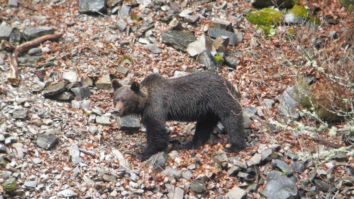 Un oso pardo ataca y hiere a una mujer en Asturias