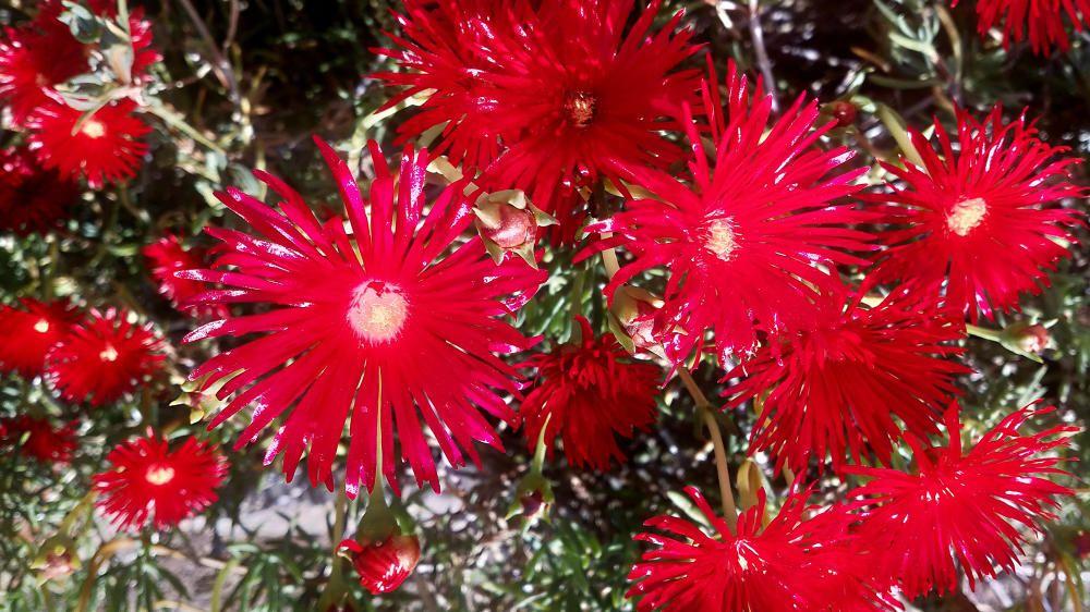 Drosanthemum. Planta procedent del Sud-àfrica. De flors cridaneres de color vermell, rosa o púrpura. Molt resistent en cas de sequera i es pot fer servir als jardins com a gespa.