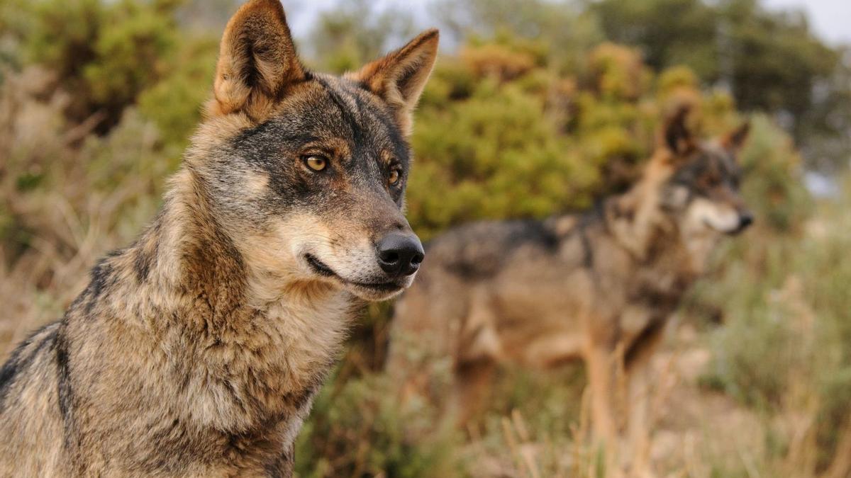 Dos ejemplares de lobo ibérico.