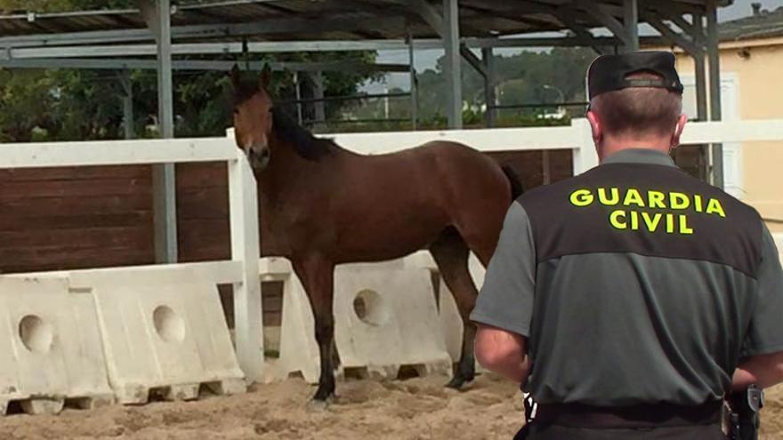 La Guardia Civil recupera en Mallorca un caballo de pura raza valorado en 13.000 euros