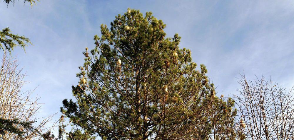 Erugues. Respecte al temps que estem passant no és normal que ja comencin a treballar les erugues a les puntes dels pins.