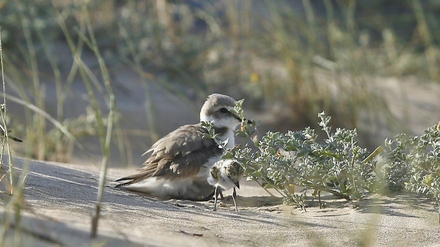 Torrevieja reserva una zona de nidificación para el chorlitejo patinegro en plena playa de La Mata