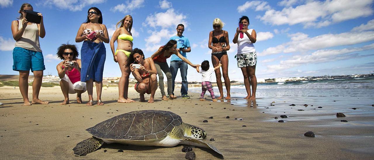 Suelta de un ejemplar de tortuga verde en aguas del Archipiélago canario. | | LP/DLP