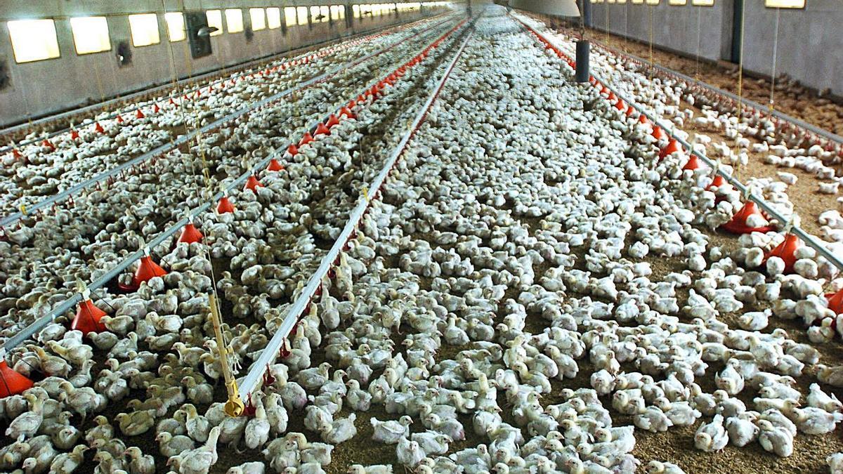 Pollos de 14 días en una granja avícola.   Eduardo Abad