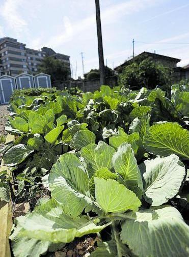Una plantación de repollos en un huerto urbano del Alto del Vidriero. | I.Collín