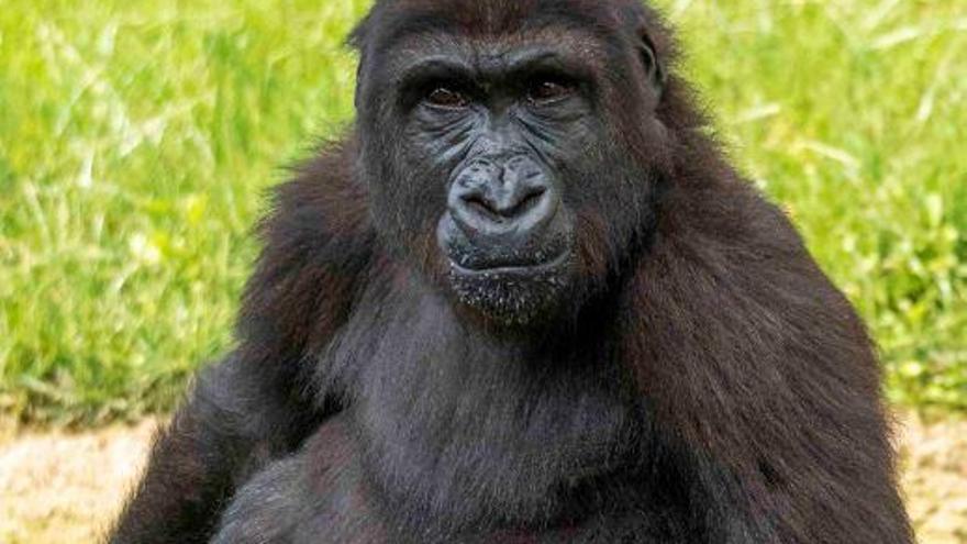 Primates, los protagonistas de Bioparc en agosto