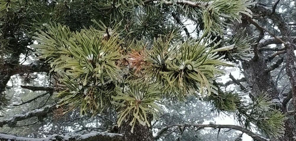 Gebrada. Ja fa uns quants dies que podem començar a veure aquest fet meteorològic que anomenem gebrada, aquesta és de l'Alt Urgell, respecte a les temperatures baixes i gèlides els arbres humits i enfarinats les gotes quedaven glaçades.