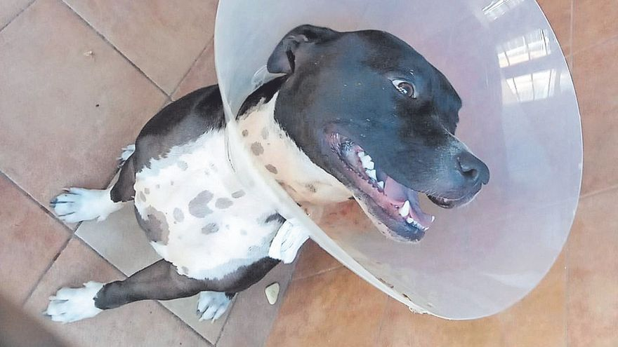 El perro de raza 'American Staffordshire Terrier' que atacó a su dueña en Playa del Inglés.