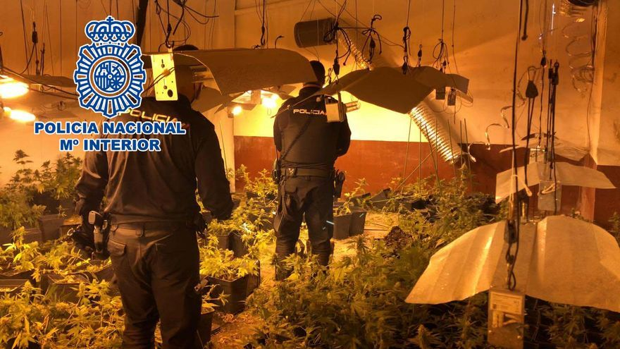 Desmantelan un cultivo de 400 plantas de marihuana en Alcoy