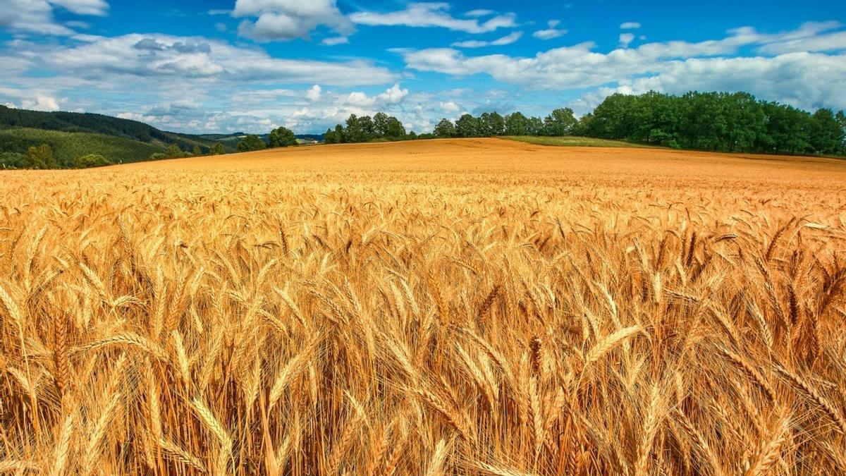 Un campo de cultivo de trigo ubicado en la localidad de Almudévar