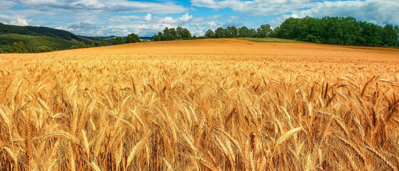 Aragón cerrará la campaña del cereal con una caída del 15%