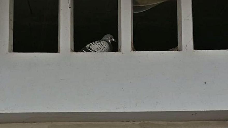 Investigan si una paloma aparecida en Moaña es una de las mensajeras perdidas en Portugal