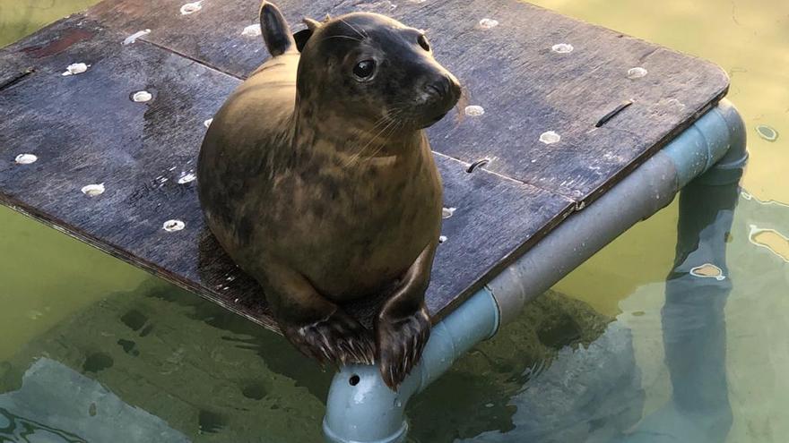 """La foca """"Rube"""" regresa a la libertad y deja su piscina a """"Pabbar"""""""
