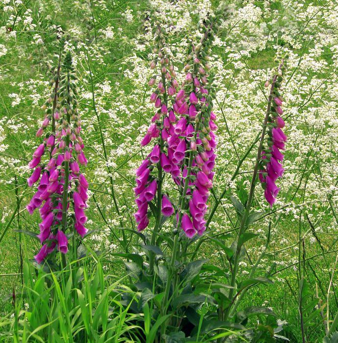 Troques. La Digitalis purpurea se caracteriza por sus flores tubulares en racimos colgantes. Es un arbusto que crece en muchas partes y que se ha empleado mucho para usos medicinales.