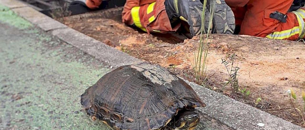 La tortuga rescatada del alcantarillado de Alzira. | CPB