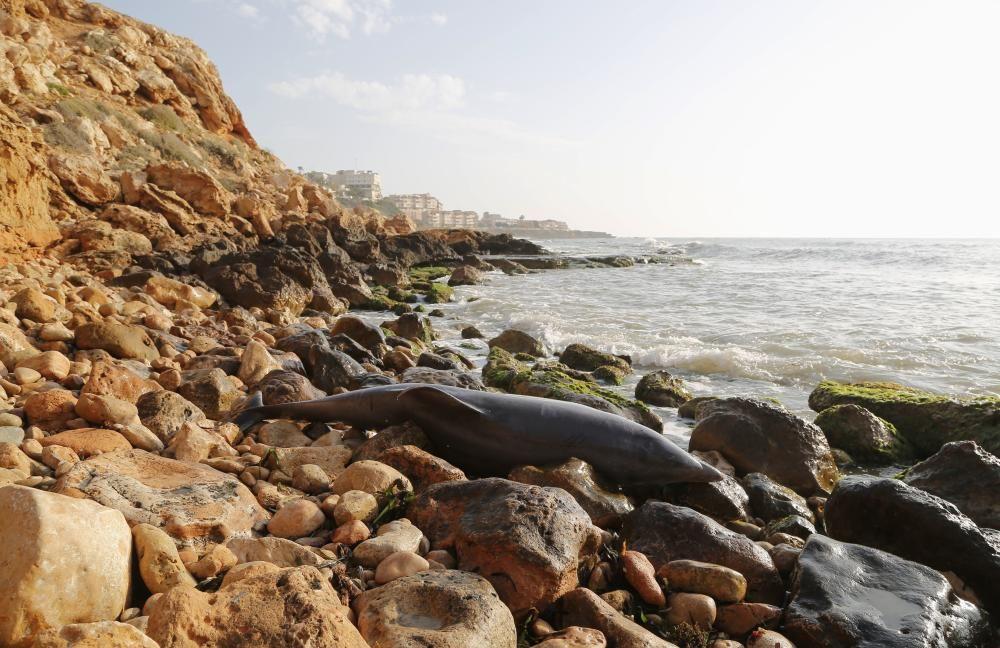 El Ayuntamiento retira el cadáver de un delfín mular varado en las calas de Torrevieja