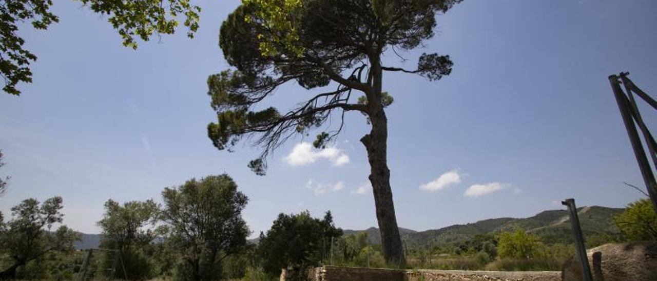 El emblemático Pi de Cairent, en cuyo entorno se proyecta la planta, hace unos días.   PERALES IBORRA