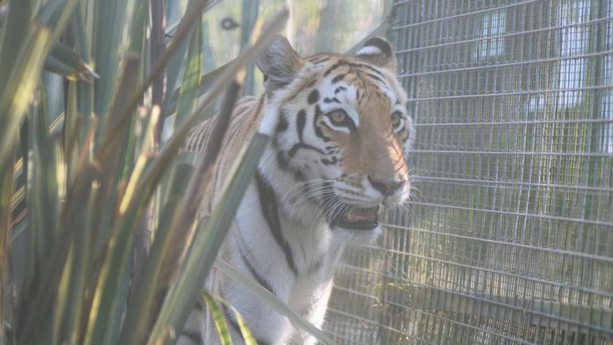 """La tigresa """"Asia"""", nueva inquilina del zoo de Oviedo"""