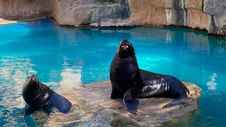 Mundomar celebra el cumpleaños de dos de sus leones marinos patagónicos: Mitch y Mini