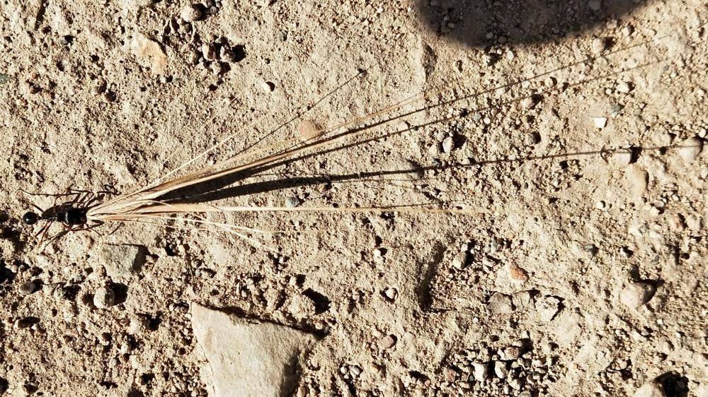 Formigues. Les formigues, negres i vermelloses, poden tenir diferents mides. També poden aixecar molt de pes, el més habitual seria 20 vegades el seu propi pes.