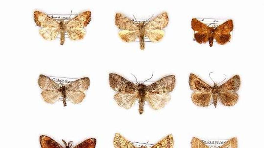 Descubiertas 48 nuevas especies de mariposas para Galicia en la fraga de Cecebre