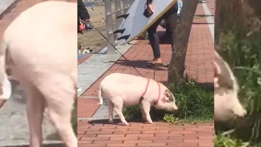 Un cerdo pastando en Las Canteras