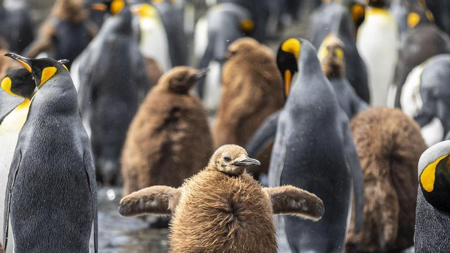 Los pingüinos rey producen enormes cantidades de gas de la risa