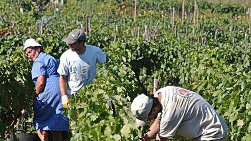 Unións Agrarias exige un registro público para los contratos de compra de uvas