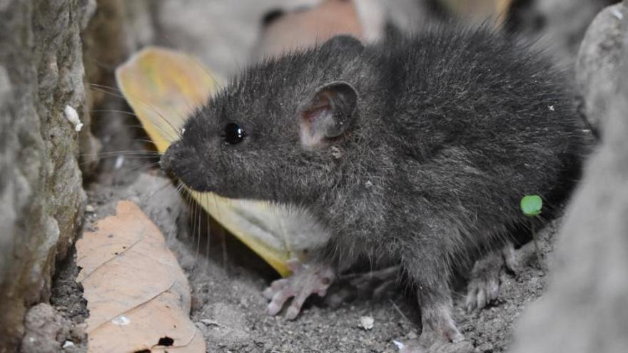 Una plaga de roedores afecta a San Andrés y Sauces