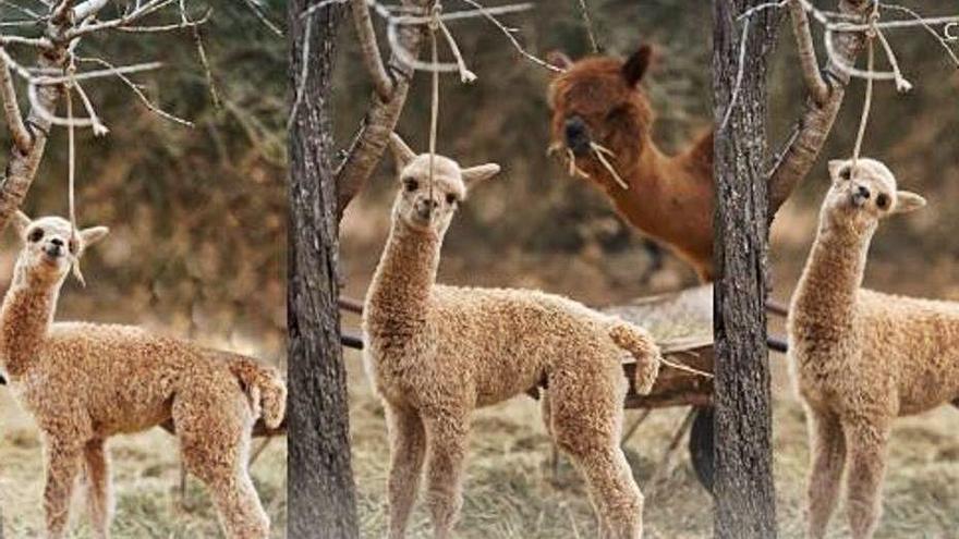Pasarela solidaria de alpacas en Ibiza