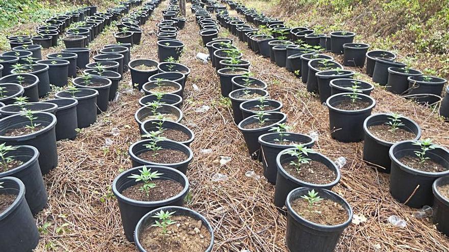 Troben 500 plantes de marihuana ocultes en un bosc d'Osor